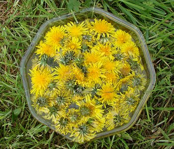 Sun Infused Dandelion Flower Essence
