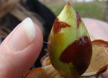 Horse Chestnut 'Sticky Bud'